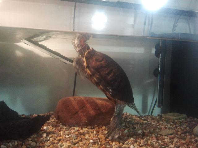 Snart ska Melli få mat och då ska hon ut från akvariet en stund.