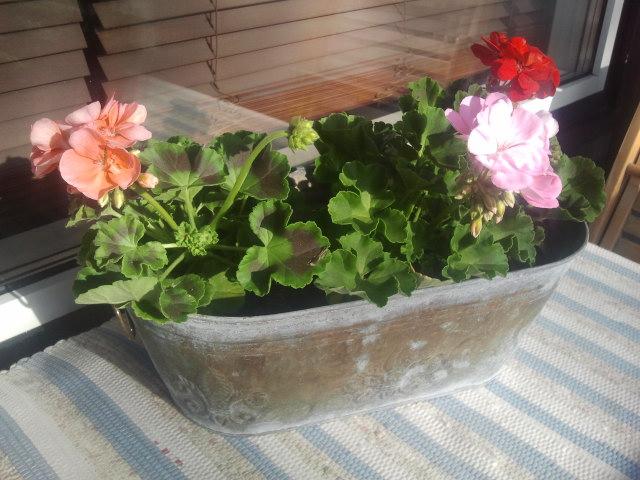 De tre första blommorna på balkongen.