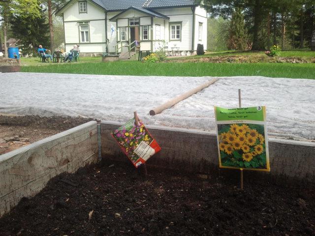 Här planterade jag solrosor i dag. De ska bli sisådär 80 cm höga så jag tror de klarar sig utan spaljé.