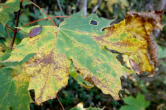 Tycker löven kan vara riktigt fulsnygga ibland.