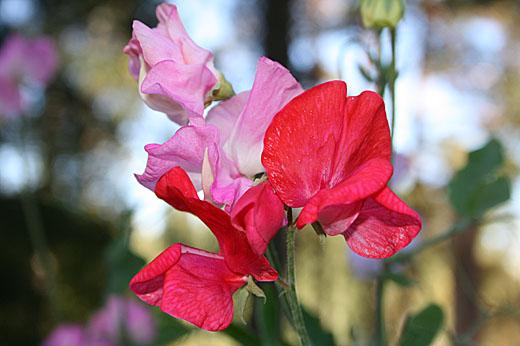 Det blir mycket blommor nu. Makrofunktionen testades på luktärterna.