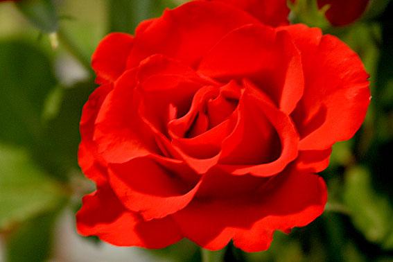 Ett fång med tjugo rosor väntade på mig hemma efter jobbet.