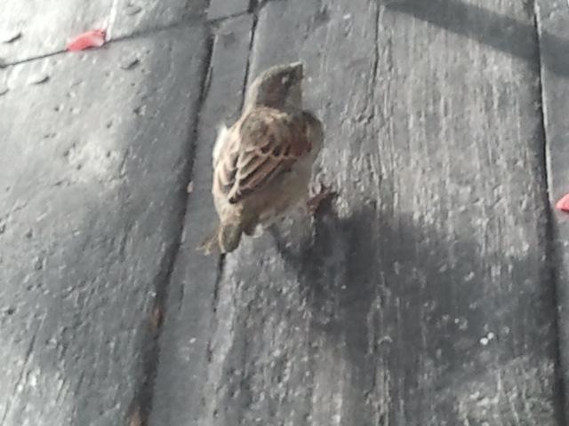 Att jag fick den här lilla fågeln på bild var ett mirakel, tycker jag själv :-) Den satt under bordet vid mina fötter och mobiltelefonens kamera är ju inte snabb...
