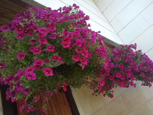 De här blommorna finns hos min mor. I går såg de så här fina ut fastän vi skrev andra september. Mor har gröna fingrar och blommorna trivs här som eftermiddags- och kvällssol gassar.