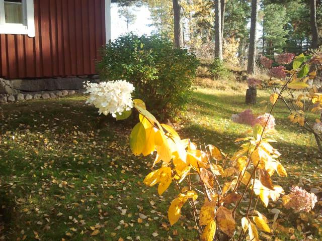 Bladen har vissnat och många har fallit av kvistarna, men hortensians blommor står sig än.
