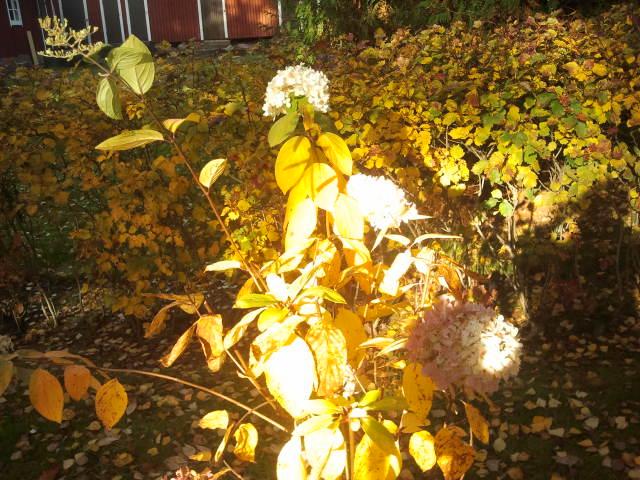 För att bevisa att bilderna är tagna i dag, 12 oktober, försöker jag få med så mycket som möjligt av hösten kring de präktiga blomklasarna.