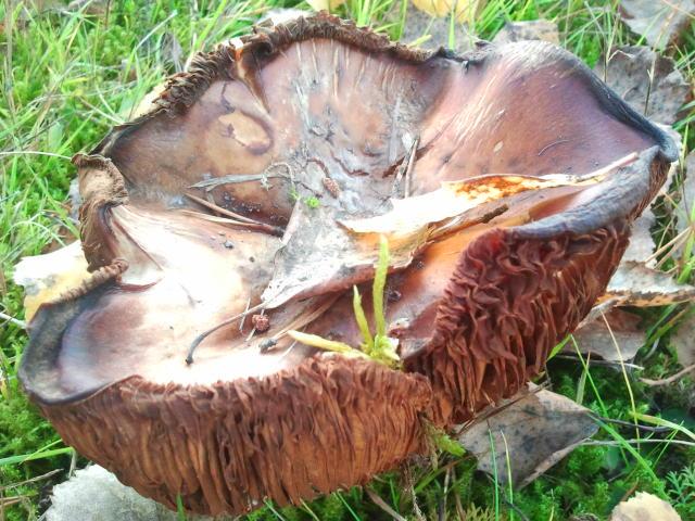 Jag är ingen svampkännare men på gården fanns några sådanahär svampar som såg fina ut med gulnade löv på sig - i gräset som ännu är grönt.