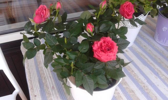 Hanna hämtade rosor i kruka.