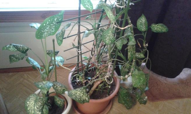 Snart har jag flera fina mindre grönväxter i stället för en enda stor.