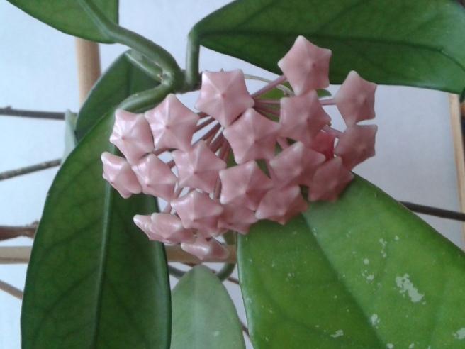 Porslinsblomman blommar vanligtvis från slutet av april till slutet av augusti.