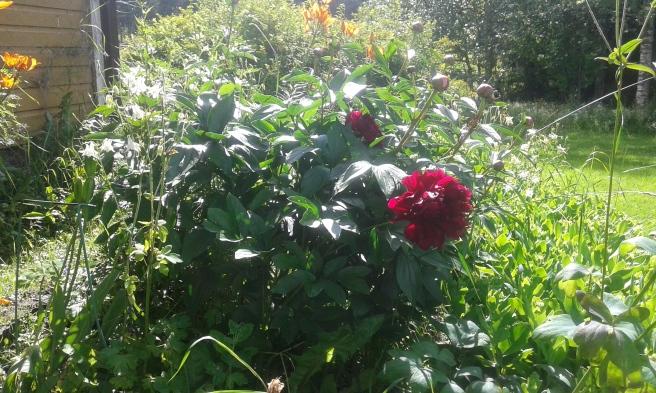 Trädgården i sommarskrud.