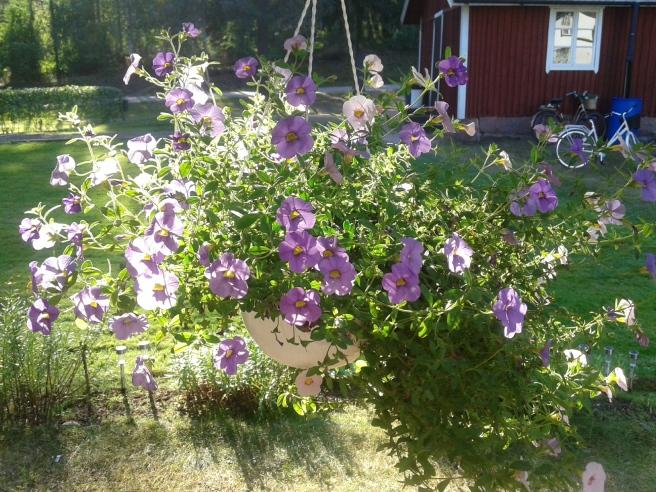 Vacker ampel i motljus på släktens sommarställe.