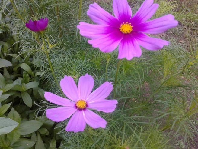 Alla grödor har varit sena i år på grund av kalla juni. Nu börjar de blommor som såddes från frön visa sig i bänken på sommarstället.
