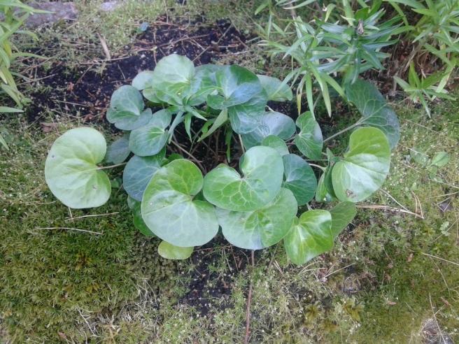 Den här markkryparen sådde jag på sommarstället ifjol. Den klarade vintern bra och har vuxit lite i år.