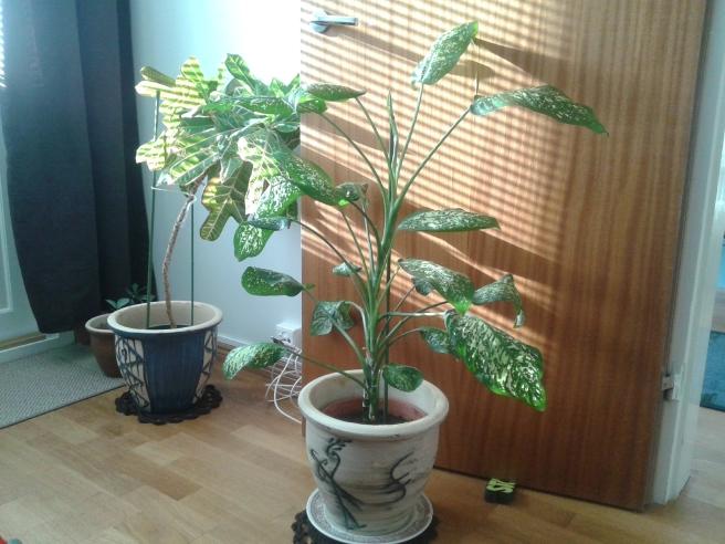 De här växterna ska kanske inte för alltid stå just så här. Men tills jag kommer på en bättre plats för dem får de vänta här, och de verkar trivas lika bra som jag i bostaden.