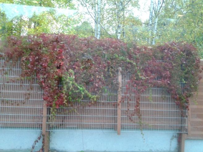 Fin idé att beklä ett bullerskydd med klängväxter.