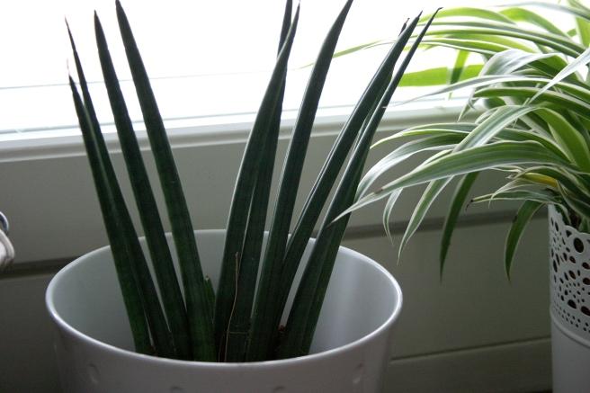 Den nya växten jag köpte, eller egentligen tog jag två stycken.