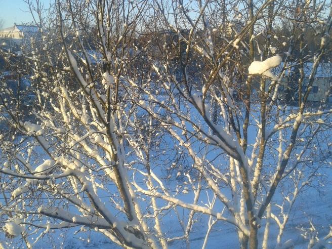 Ett snöklätt träd utanför mitt fönster.
