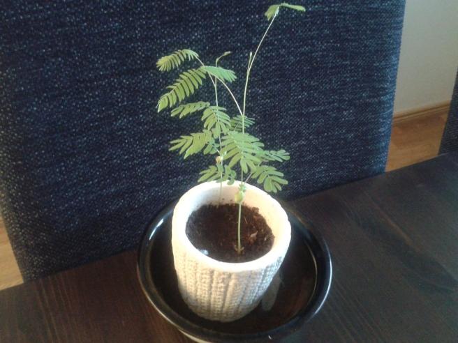 Växten är i dag sexton centimeter hög.