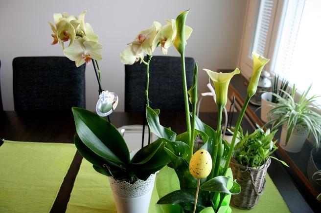 Orkidén jag köpte inför Yle:s besök fick nu en kompis i fredskallan.