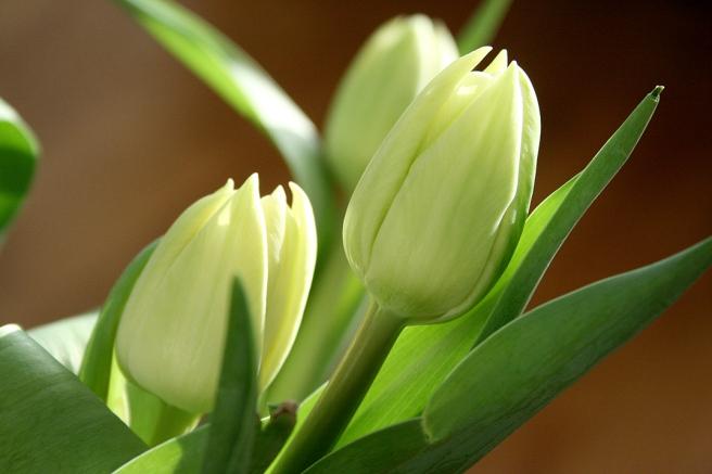 Kan något förmedla mer vårkänsla än tulpaner och sol?