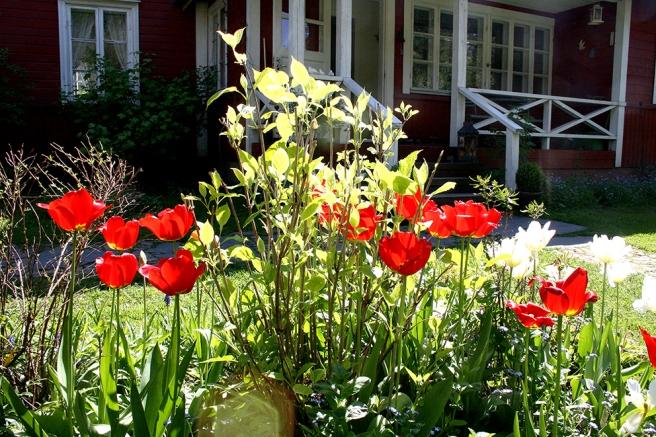 Solsken och tulpaner i blom.