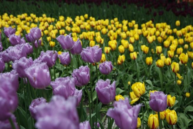 Tulpaner i alla former och färger.