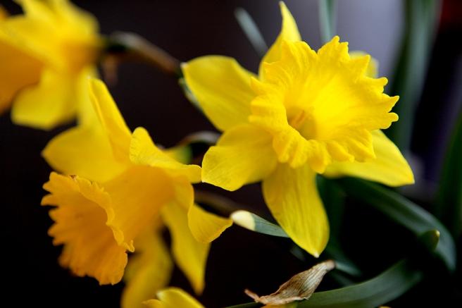 Påskliljor från mammas trädgård. Dom blommar än då våren kom så sent.