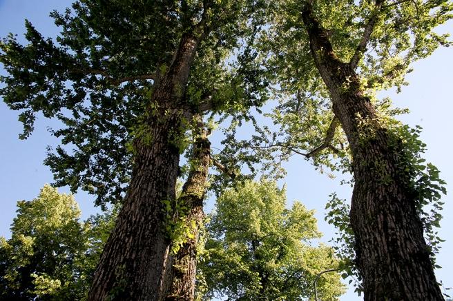 Trädens kronor.