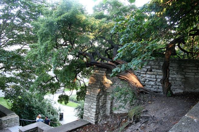 Fascinerande stam intill en av murarna i gamla stan i Tallinn. Hur gammalt månne trädet är?