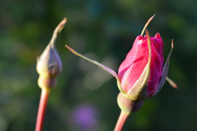 Men än har inte allt blommat ut i trädgården. Här kommer jag, rosenknopp!