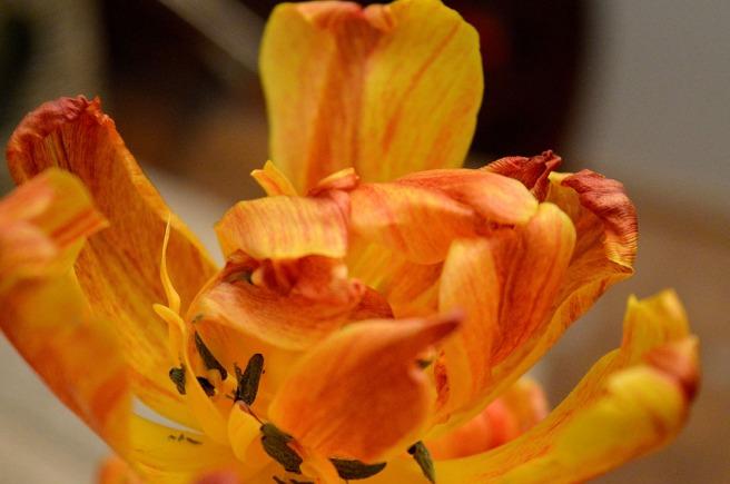 En av de utblommade tulpanerna i krukan jag köpte för snart två veckor sedan. Ett konstverk i sig.