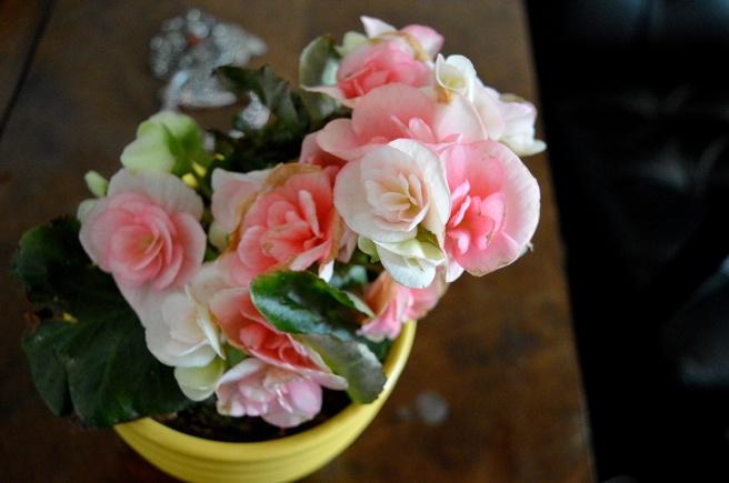 Minns hur jag för några år sedan fick en begonia att blomma långt in på hösten. Blommorna hängde i klasar :-)