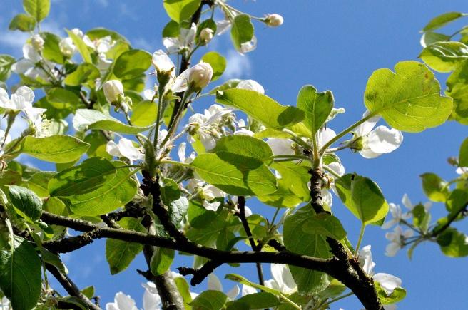Finns det något vackrare än ett gammalt äppelträd i blom?