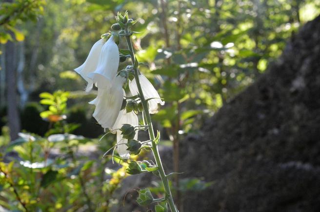 En blomma i Eijas Garden som är öppen under Lovisa Historiska Hus.