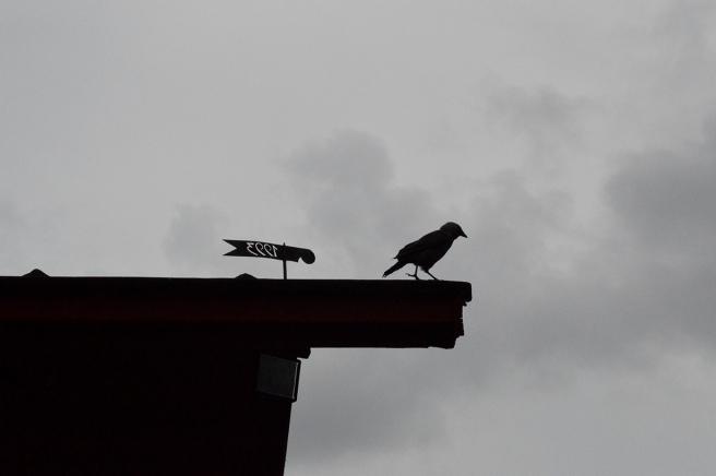 Gillar den här bilden. Hade typ tre sekunder på mig att ta den, sedan var fågel inte där mer.
