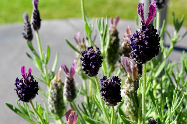 Tror det här är lavendel. Tycker blomman till höger ser ut som en påskhare :-D