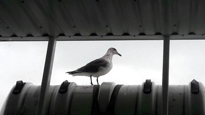 En fripassagerare på båten.