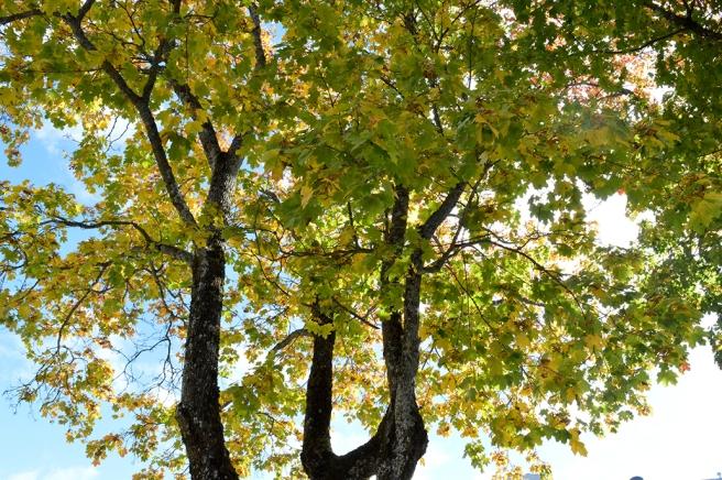 Ännu sitter massor av löv kvar på träden, så varmt som det varit. Lite färg har de ändå börjat skifta.