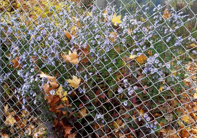 En god bit inne i oktober är vi men många blommor orkar streta på :-)