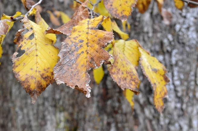 Också löv som håller på att vissna är vackra.