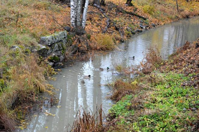 Änderna kvackade högt och ljudligt där de simmade i den västra förgreningen av ån.