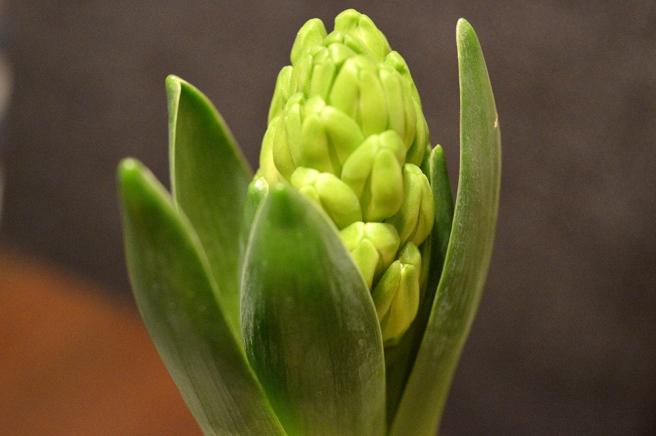 I affären hittade jag också hyacinter, så den här som ska bli vit blev årets första. Älskar dem.